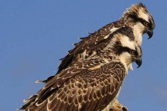 Progetto Falco Pescatore