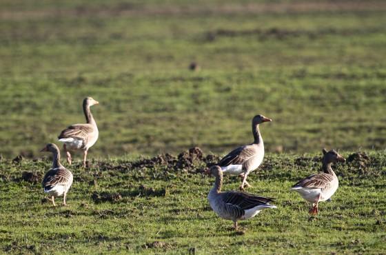 L'avifauna acquatica sceglie il Parco della Maremma come sito di svernamento