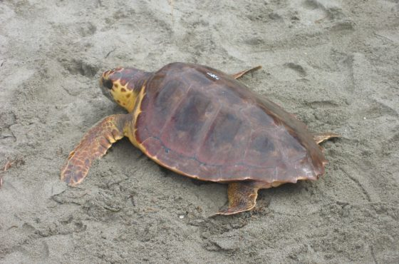 Nuovo aggiornamento dai due nidi di tartaruga Caretta caretta in Maremma