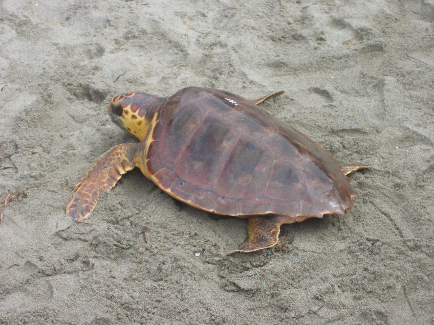 Nido di tartaruga marina all'isola d'Elba: una webcam per sorvegliarlo