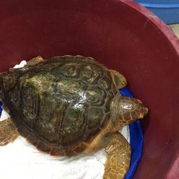 Torna in mare la tartaruga Augusta al largo di Talamone
