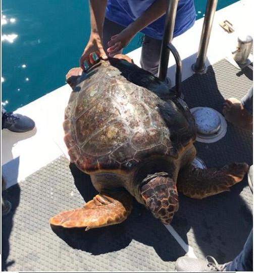 La tartaruga T. Roverella torna a solcare il mare