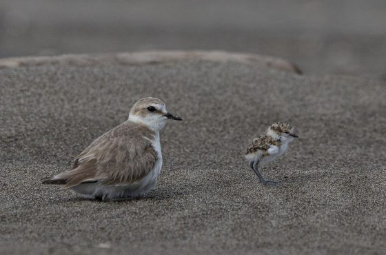 Nati i piccoli di Fratino al Parco della Maremma